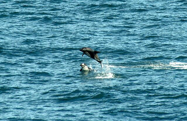 Dolphins Patagonia Chile